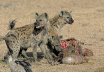 Spotted Hyaenas feeding