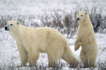 Polar bear mother with cub standing in alertness of other nearby bears.