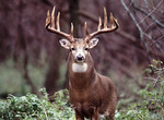Large Whitetail Buck in full rut searching for does.