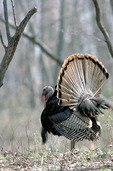 Eastern Turkey gobbler fanned out in full strut