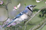 Blue Jay in the spring time.
