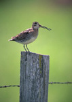 Common Snipe on a fence post.