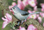 Tufted Titmouse in the Spring time.
