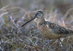Long-billed Dowitcher in grass field.