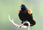 Red-winged Blackbird singing.