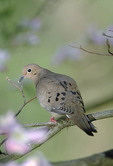 Mourning Dove in a tree.