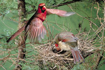 Northern Cardinal male and female at the nest.