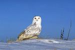 Male Snowy owl in a open field of snow