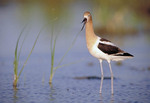 American Avocet in a marsh.