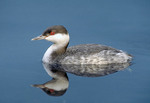 Horned Grebe in winter plumage.