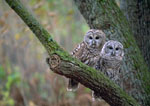 Barred owls in tree