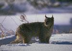 Lynx in the winter