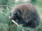 Adult porcupine in the wild