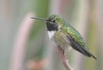 Female broad-tailed hummingbird