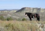 Herd stallion of wild horses