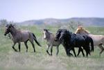 Bachalor stallions of wild horses