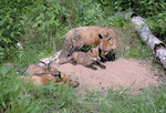 Female red fox at den with 6 week old kits