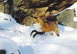 Red fox in the snow mousing