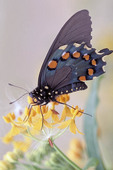 Pipevine Swallowtail on a flower