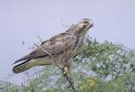 Adult Broad-winged Hawk in a tree