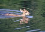 Fawn swimming
