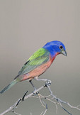 Adult male Painted Bunting in breeding plumage