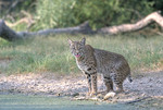 Adult Bobcat by the water