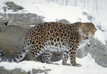 Adult male Amur Leopard