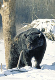 Adult male Black Bear in the winter
