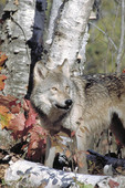 Adult Eastern Grey Timber Wolf in the fall