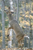Adult Whitetailed deer at overhanging branch-scrape