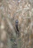 Whitetail deer buck in a corn field