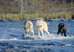 Pack of Gray Timber wolves crossing a river
