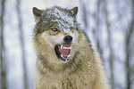 Eastern Grey Timber Wolf snarling