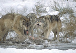 Pack of Timber Wolves eating whitetail deer
