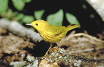 Adult Yellow Warbler