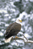 Adult Bald Eagle on a branch in the winter