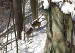 Deer in the winter in Ohio
