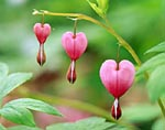 Close-up of Bleeding Hearts