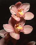 Pink orchids shot in studio