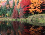 Fall Sugar Maples reflected in the lake