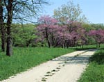 Redbud trees and road in the Morton Arboretum