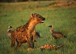 Spotted Hyena feeding