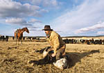 Cowboy medicating cattle