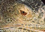 Close-up of Green Iguana eye