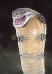 King Cobra ready to strike