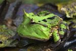 Amazon Horned Frog