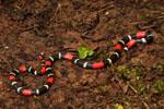 Slender Coral Snake