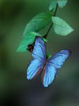 Blue Morpho butterfly on a branch