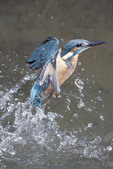 Kingfisher coming out of the water
